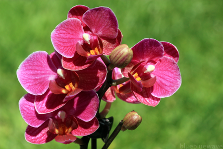 P_20100528_Orchid_01_sml